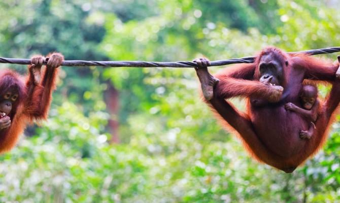 orangutan-header