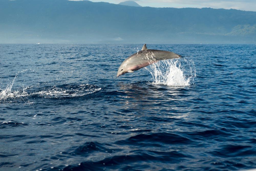 Dolfijn 1