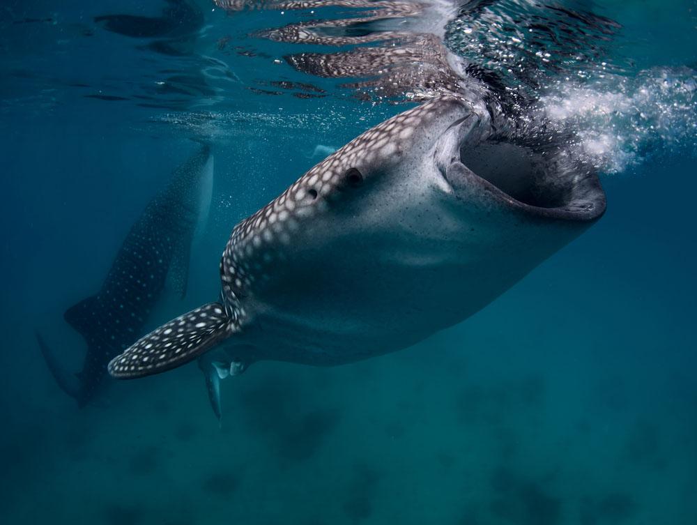 snorkelen walvishaaien